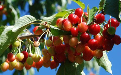 cherry-season